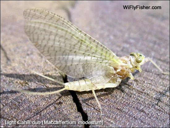 Light Cahill mayfly dun